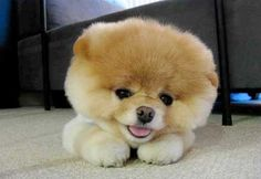 Introducing Boo The Cutest Pomeranian in the World • from  APlaceToLoveDogs.com • dog dogs puppy puppies cute doggy doggies adorable funny fun silly photography boo the pomeranian story stories