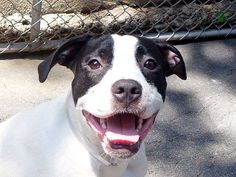 ~~9 month old PUPPY TO BE DESTROYED 7/9/14~~ Manhattan Center -P  My name is IKEA. My Animal ID # is A1004850. *** $200 DONATION TO THE RESCUE THAT PULLS IKEA ***  I am a spayed female white and black pit bull mix. The shelter thinks I am about 9 MONTHS old.