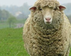 Rustic Sheep Ewe French Country Farmhouse by MissMPhotography, ║✿ pinned by Colette's Cottage✿