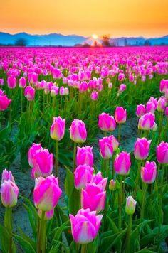 Tulips Skagit Valley, Washington