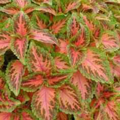 512 Coleus WIZARD CORAL SUNRISE Live Plants Plugs Garden Home Patio Planters Av #BountifulPlants