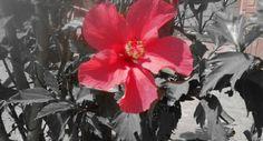 Flor, rosa china