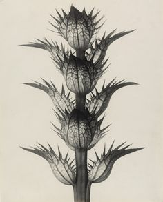 Karl Blossfeldt. Acanthus mollis. Common or soft-leaved Bear's Breech. Bracteoles, with the flowers removed, enlarged 4 times. 1898-1928