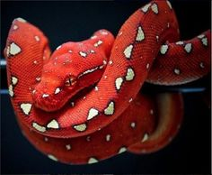 reptiles nice color bright and vibrant and DEADLY-OP except for this is a young python so potentially not deadly Colorful Snakes, Colorful Animals, Nature Animals, Animals And Pets, Cute Animals, Les Reptiles, Cute Reptiles, Reptiles And Amphibians, Mammals