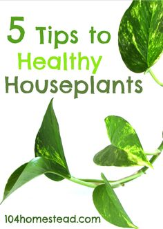 5 Tips to Healthy Houseplants   The 104 Homestead