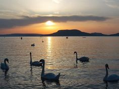 Swans on Lake Balaton, Hungary