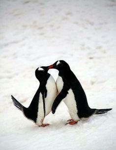 Penguins in Love.