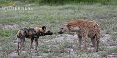 Mombo Camp - The legendary lone wild dog of Mombo often interacts with other predatory species in the most bizarre ways…