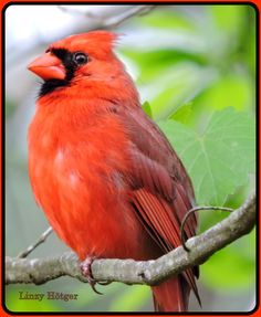 Red cardinals are permanent residents in my garden and are a lot of fun to watch