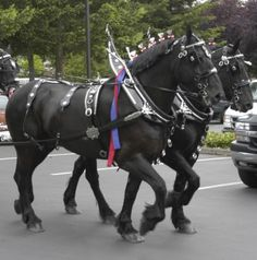 Another team of Percherons!
