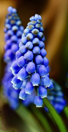 Muscari grape hyacinth.