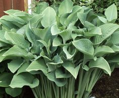 One of the classic large hosta, 'Krossa Regal' puts on quite the show in the garden with its think, upright, frosty blue green leaves that become even deeper blue as the season progresses. Reaching nearly three feet in height, 'Krossa … Continue reading →