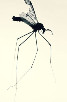 ivaylo petrov- Never thought a mosquito could be so beautiful.