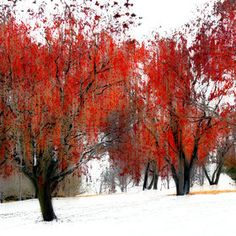 Solitude in the Red Trees