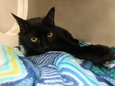 JOHNNY - A1066860 - - Brooklyn  Please Share:   *** TO BE DESTROYED 03/22/16 *** SWEET EBONY SENIOR LOOKING FOR NEW DIGS!! JOHNNY was given to a family member a month ago and someone of course had allergies and the best they could do for him was bring him to a high-kill shelter? NOT!! …..A volunteer writes: Johnny is another wonderful black cat. He may not come to greet you, but he sure will stick his nose out to your sniffing your hand. Give him some head rubs, he'