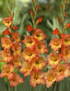 Gladiolus 'Savannah'