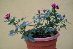 Mini rosas cultivo en ambientes de interior