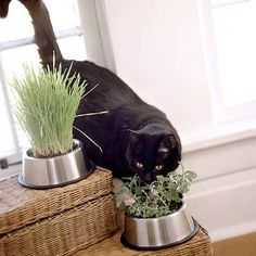 Catnip grown in a Cat Dish. This is a great idea, and would look much better than the plastic things they come in!