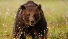 Viaje fotográfico en búsqueda del oso pardo en Finlandia - http://www.aefona.org/viaje-fotografico-busqueda-del-oso-pardo-finlandia/