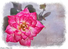 Thumbelina Rose - Miniature Rose - by Debbie Portwood