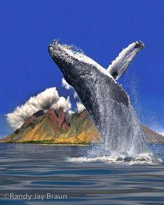 whalewatching in Maui, Hawaii - Humpback Whale