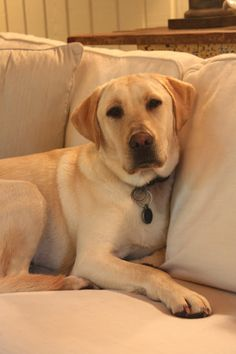 Mind Blowing Facts About Labrador Retrievers And Ideas. Amazing Facts About Labrador Retrievers And Ideas. Puppies And Kitties, Cute Puppies, Cats And Kittens, Cute Dogs, Ragdoll Cats, Doggies, Raza Labrador, Labrador Retriever Dog, Animals And Pets