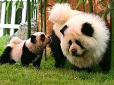 Chinese dog Dying... SOOOOOOOOOOOOO CUTE!!!!! Chow Chow looking like a panda!