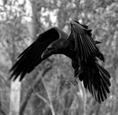 Tattoos News Pics Videos And Info Raven And Wolf, Quoth The Raven, Raven Bird, Corvo Tattoo, Rabe Tattoo, Raven Wings, Crow Art, Crows Ravens, Mundo Animal