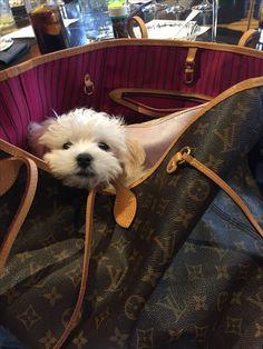 Brody #cotondeter #Maltese #puppy