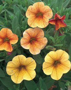 Million Bells® Terra Cotta - Calibrachoa hybrid Outside Plants, Outdoor Plants, Million Bells, Yellow Plants, Flower Sleeve, Flowers Delivered, Annual Plants, Garden Supplies, Dream Garden