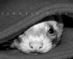 Ferrets are very cool--there's something funky about the rolling way they gallop:)  http://www.pinterest.com/mommafert/ferrets/