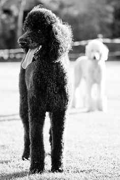 I want a standard poodle some day. That's what Barbie has! Ellie and Luca | Standard Poodles