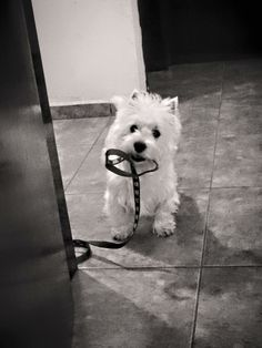 Please take me for a walk, here's the leash. Westie