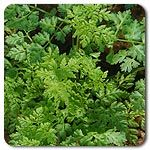 "Organic Brussels Winter Chervil Chervil has flat, light green, lacy leaves, with a flavor somewhere between parsley and anise. It is considered one of the classic French herbes fines. A European standard and very winter hardy. Direct seed in early spring for summer crop or fall for spring crop. Sow seeds ½-1"" deep. Grow as baby leaf or full size using 6 seeds/ft in rows 12-18"" apart. Hardy annual. (Anthriscus cerefolium ) Days to maturity: 18 days micro, 40 baby, 60 full size"