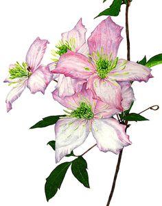 Illustration botanique Anna Mason.