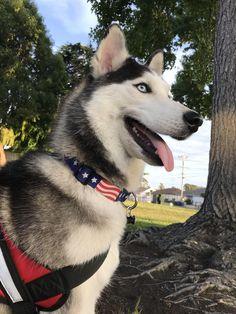 Best Dog Photos, Funny Dog Photos, Puppy Pictures, Funny Dogs, Cute Dogs, My Husky, Husky Puppy, Snow Dogs, Image Hd