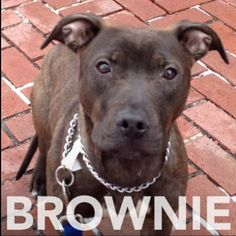Brownie is a 7 mo old female terrier/pit bull mix. Bit shy but warms up quickly. Meet her at 184 Verona St.