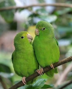 Tuim/ blue winged Parrotlet (Forpus xanthopterygius) Photographer unknown