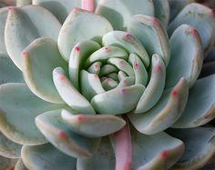 Echeveria cv. laulindsa