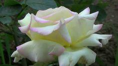 Trandafiri soiul FaceBook