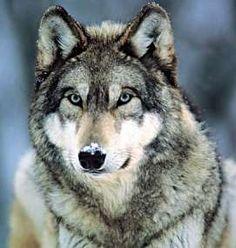 spirit animals symbols - Google Search