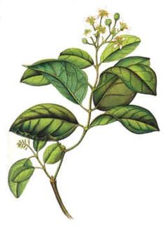 Boldo planta medicinal Acevedo, Plant Leaves, Cricut, Home And Garden, Exterior, Drawings, Plants, Projects, Diy