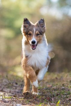 """Young Sheltie, just getting through the """"coyote"""" stage (adolescence - when they lose their puppy fluff but have not yet grown their adult coat). I Love Dogs, Cute Dogs, If Dogs Could Talk, Baby Animals, Cute Animals, Puppies And Kitties, Sheltie, Mans Best Friend, Pets"""