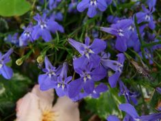 How to care, propagate, cultivate, decorate, germinate, feed, water and more information about Lobelia Erinus (Lobelia)