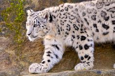 The Snow Leopard, the most elusive of all the wildlife of South Asia