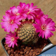Cacti And Succulents, Planting Succulents, Cactus Plants, Planting Flowers, Beautiful Flowers Garden, Rare Flowers, Cactus Art, Cactus Flower, Bolivia