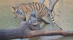 Cultuur en tijgers in India    Zie meer foto's op www.reiskrantreporter.nl/reports/7328