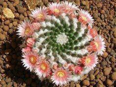 Spiraling Mexican cactus
