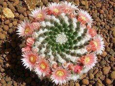 Fractal spiral/symmetry in nature - Spiraling Mexican Cactus — at Photo by Simona Carizzolo.