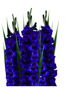 Blue Gladiolus Flowers: about to try to force my gladiolus bulbs to grow in water hope they look as cool as this blue Gadiolus
